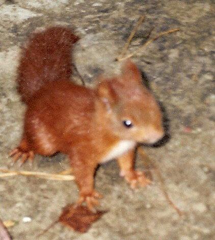 Przez nas odchowana maleńka wiewiórka BAŚKA