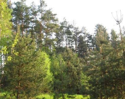 W lesie sosnowym są fitoncydy obok SAK Hotel Olsztyn, które czynią powietrze higienicznym.