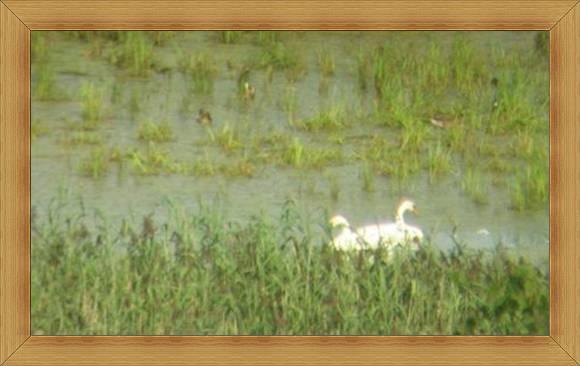 Łabędzie kaczki Olsztyn jeziora ekośrodowisko.