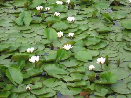 Lilie wodne Nenufary baśniowa kraina przyrody