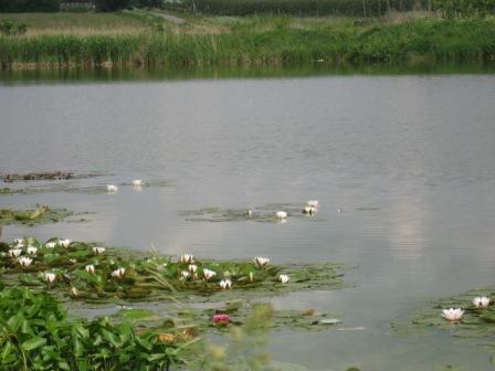 Lilie wodne baśniowa kraina pięknej przyrody.