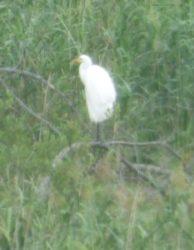 Czapla Biała Olsztyn w Naturze