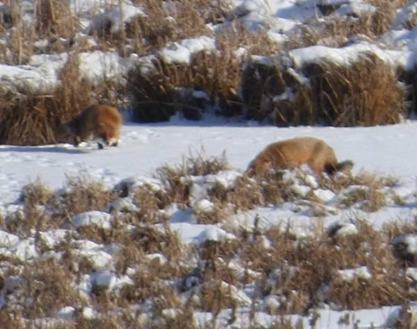 Lisy w Zimowej Scenerii Pod Olsztynem